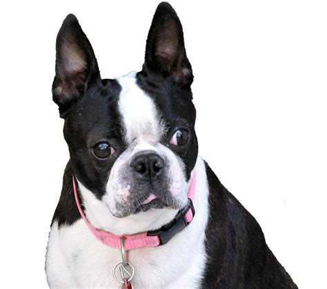 Thanks To Everyone That Helped Save Josie The Boston