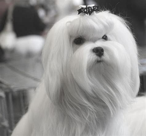 Blue Moonlight Maltese Diary: World Dog Show and French