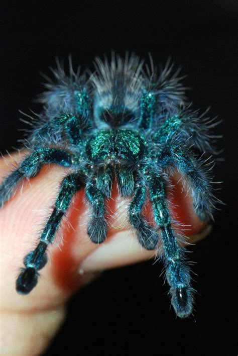 Avicularia versicolor babies start off blue like this they
