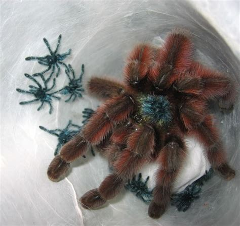18 best Avicularia versicolor pictures images on Pinterest
