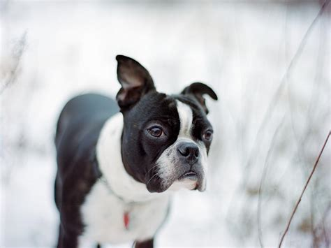 Dog Breed Profile: Facts About The Boston Terrier | Figo