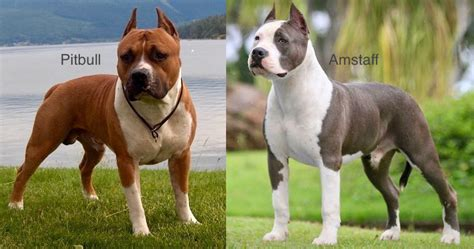Pitbull - American Pit bull Terrier - Information & Images