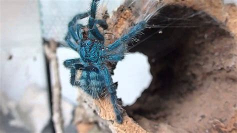 Avicularia Versicolor - grows up [HD] - YouTube