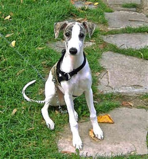 Whippet Puppies Pictures | Puppies Pictures Online