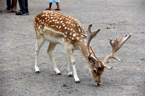 Free Stag of Japanese spotted deer Cervus nippon at the